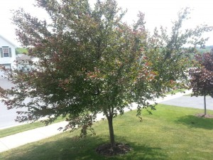 Crabapple or Ornimental Cherry Tree